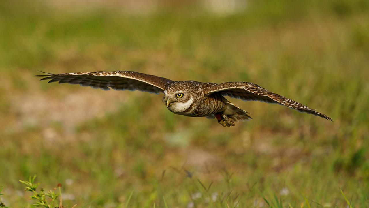 Best Burrowing Owl Photo Workshop