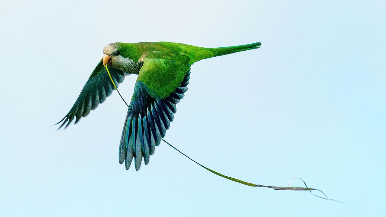 Monk Parakeet Florida Bird BIF Photo Workshop