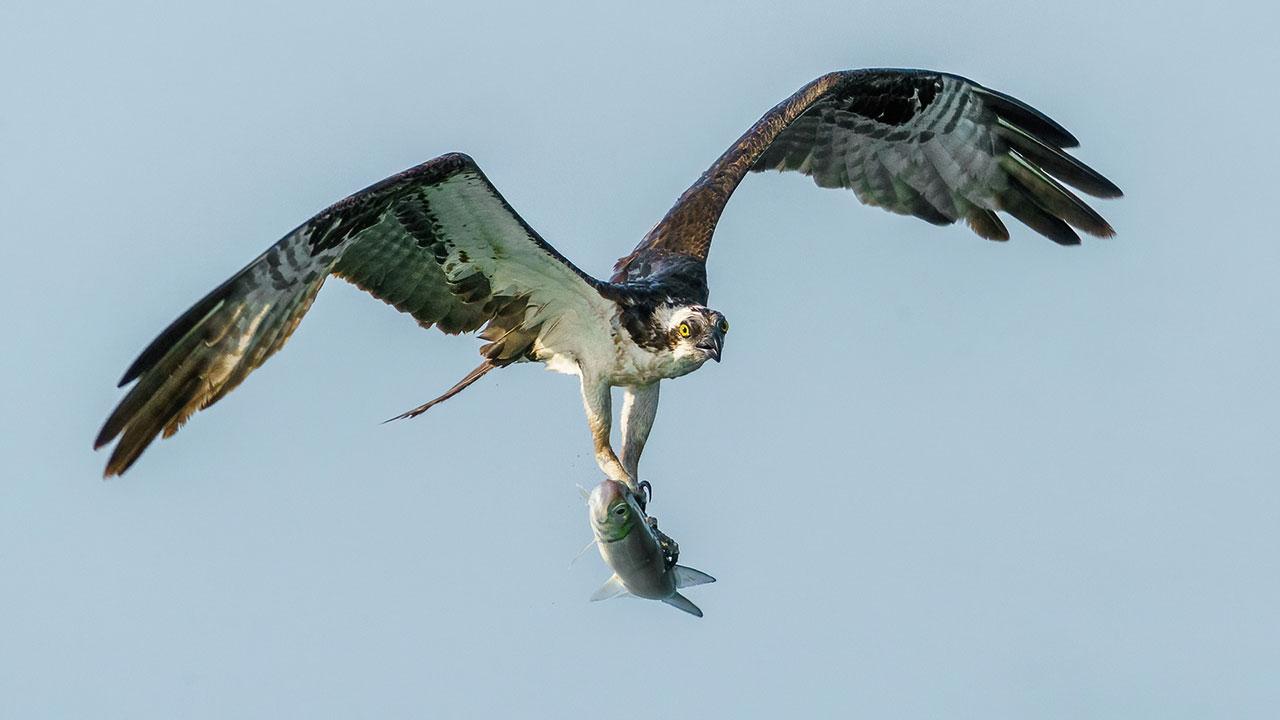 Osprey With Prey Bird photo Workshop Florida